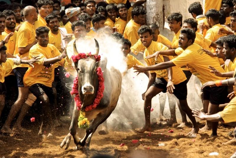 The Hidden Purpose of the Jallikattu Protests in Tamil Nadu