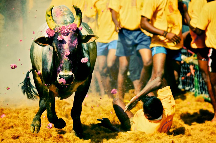 Will Jallikattu Save the Native Breeds of Bulls in Tamil Nadu?